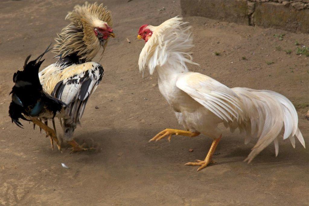 Ayam Tarung di Lapangan
