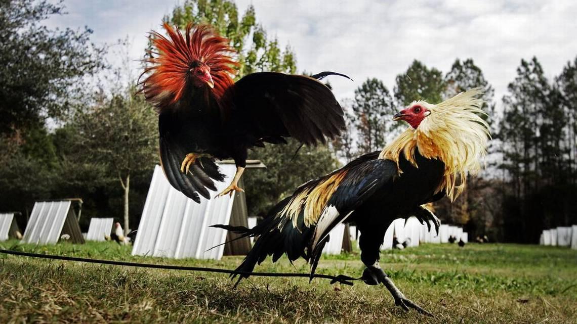 Cara Memilih Ayam Terbaik Di Sabung Ayam