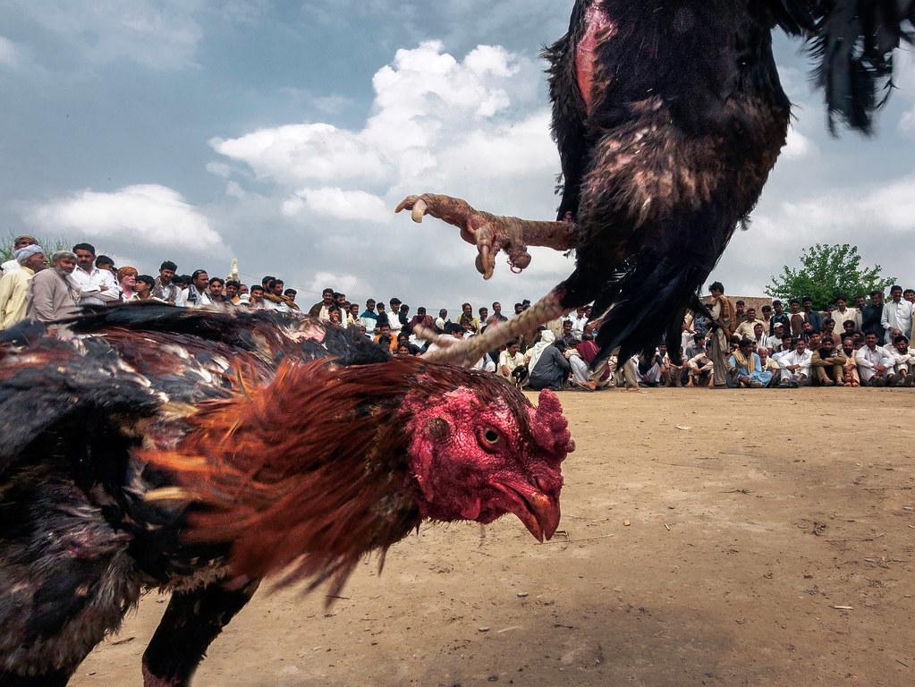 Pro Dan Kontra Permainan Judi Sabung Ayam Online