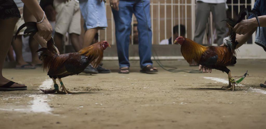 Cara Bermain Aplikasi Sabung Ayam Sv388