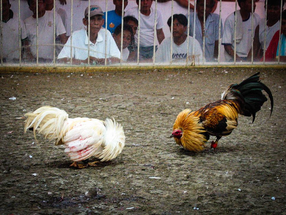Cara Bermain di Situs Sabung Ayam Uang Asli Sv388 Melalui Aplikasi